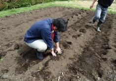 4月30日 晴れ 藍の苗を植えました